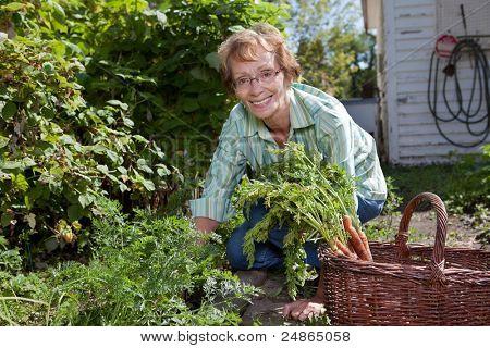 Portrait of senior woman harvesting carrots in field