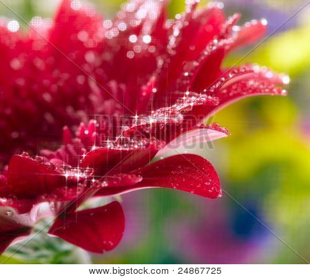 Closeup of red daisy-gerbera with waterdrops. Soft focus and star filter used