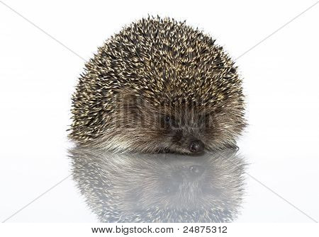A Young Hedgehog, About A Year