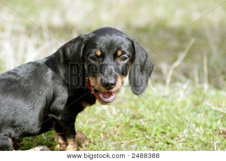 Young Dachshund