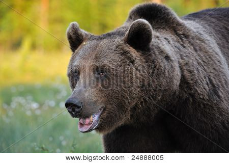 Powerful Brown Bear