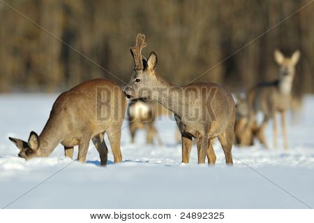 Roebuck Sniffing Female