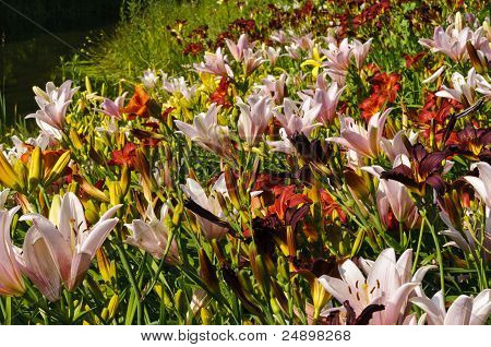 Lily Flowers Field Background