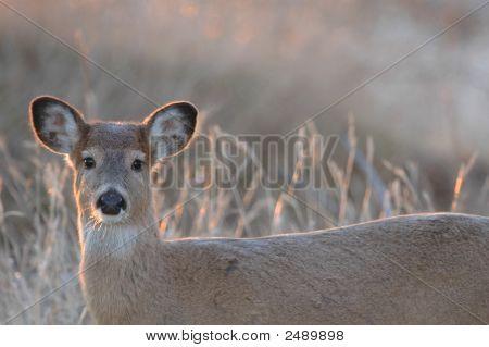 Missouri White-Tailed Deer