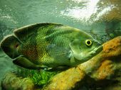 Great Specimen Of Astronotus Ocellatus (oscar Fish) With A Large Yellow Eye And Bright Scales Of Int poster