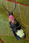 pic of lightning bugs  - Firefly  - JPG