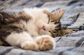 Lazy Tabby Cat Resting On Blue Bed Cover poster