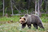Brown Bear (ursus Arctos) Walking Free In The Finnish Taiga poster
