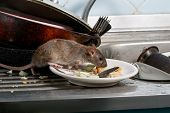 Close-up Young Rats (rattus Norvegicus) Sniffs Leftovers On A Plate On Sink At The Kitchen. Fight Wi poster