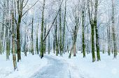Winter Landscape With Snowy Trees Along The Winter Park - Winter Snowy Scene In Cold Tones. Winter A poster