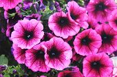 Purple Petunia Flowers Close Up View. Blooming Colorful Purple And Pink Petunia Flowers At Summer Pa poster