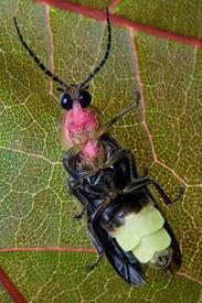 image of lightning bugs  - Firefly  - JPG