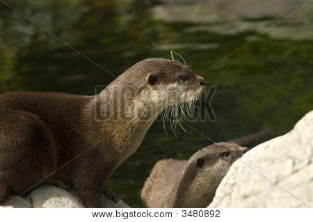 Malasian Short Clawed Otter