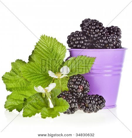 blackberry bramble dewberry with leaves in a color bucket isolated on white background