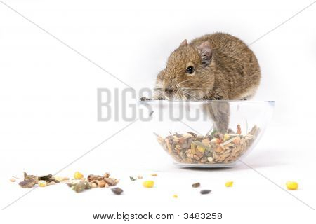 Hungry Degu