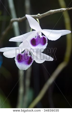 Beautiful Wild Orchid In Thailand