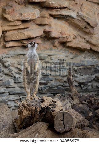 A guarding suricate