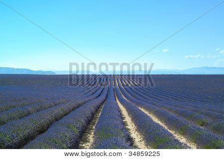 Lavender Flower Blooming Fields Endless Rows. Valensole Provence, France, Europe.