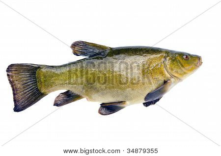 Isolated On White Big Tench