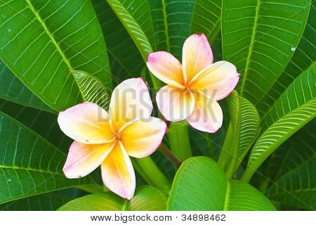 Tropical Flowers Frangipani (plumeria), Macro View Shallow Depth Of Field