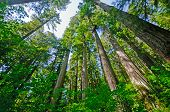 image of redwood forest  - Coastal Redwoods in Redwood National Park IN California - JPG