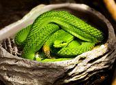 image of green tree python  - A close - JPG