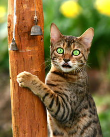 stock photo of tinkerbell  - a bengali special breed kitten climbing a pole pointing its tongue out - JPG