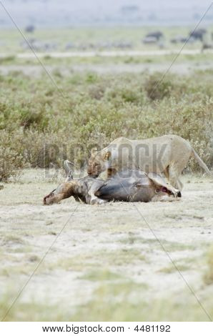 Female Lion Eating Gnu  Kill