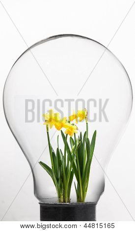 Daffodil inside light bulb against white background
