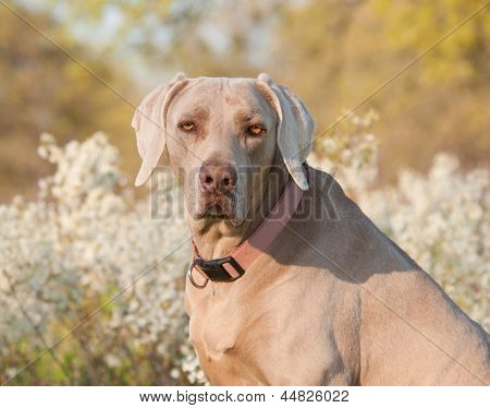 Weimaraner dog looking at the viewer, with spring flower background