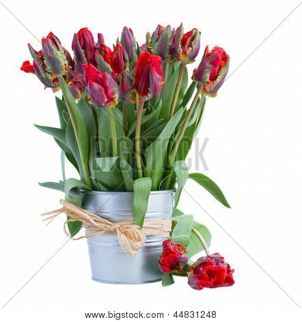 spring red tulip flowers in pot