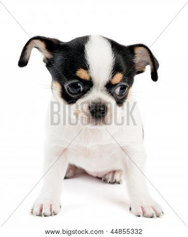 Small Chihuahua Puppy On White