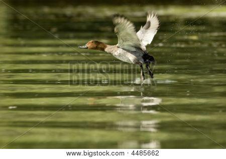 Pochard Duck Start Flying Over Water