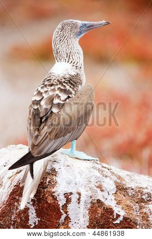 Close up of blue footed booby at Galapagos island of  North Seymour