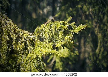 Sunlit spruce tree branch in the backwoods