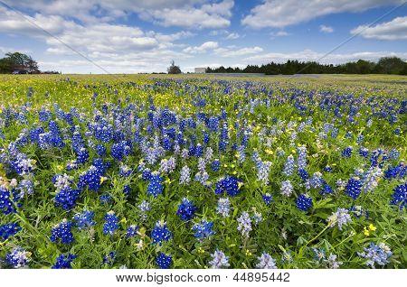Bluebonnet Fields In Palmer, Tx