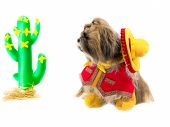 pic of gaucho  - A Shih Tzu dog dressed as a gaucho gazes at a cactus - JPG