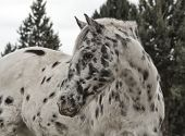 foto of appaloosa  - Appaloosa dalmatian spotted gelding who summers in Northern Arizona and winters in Phoenix - JPG