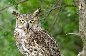 stock photo of owl eyes  - Portrait of Great Horned Owl  - JPG