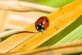 stock photo of stelles  - a little ladybug cloesup on a spring day in the garden - JPG