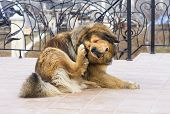 stock photo of flea  - Tibetan Mastiff Dog Scratching Flea - JPG