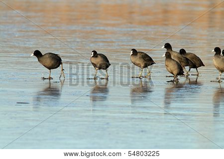 Common Coots Walking On Ice