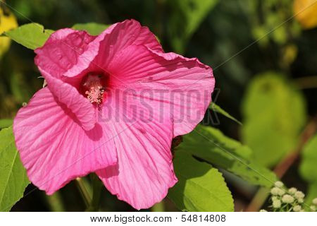 Pink Swamp Rose-mallow