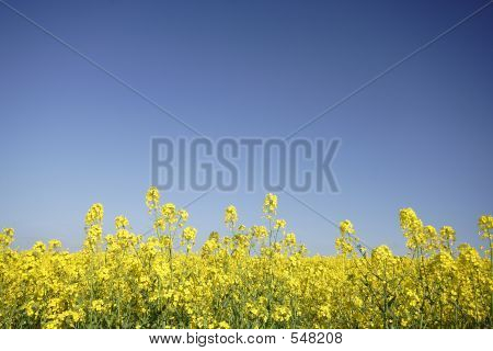 Oil-seed Rape Flowers
