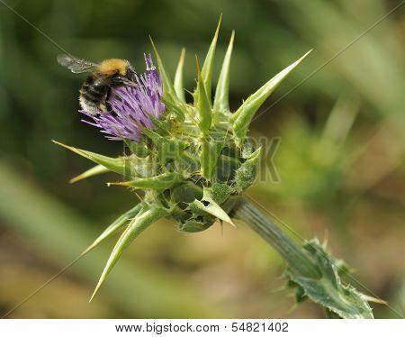 Tree Bumblebee on Milk Thistle
