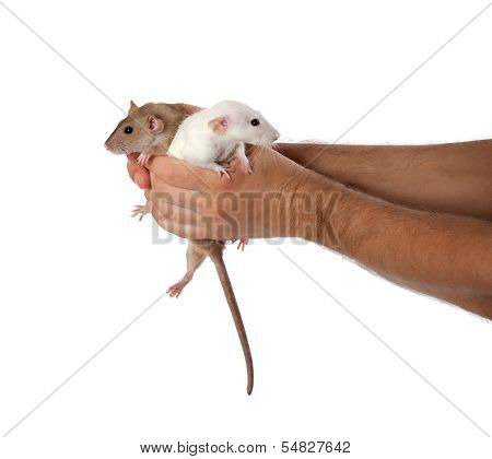 White And Brown Rats In Hands