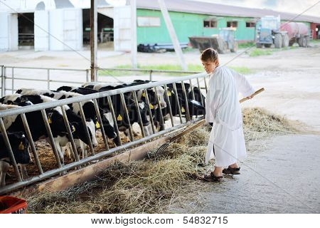 Boy in white robe works by hayfork near stall with calves in farm.