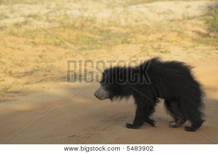 Young Sloth Bear