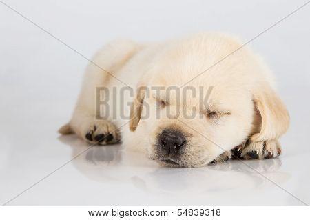 Labrador Puppy Sleeping On White Shiny Surface