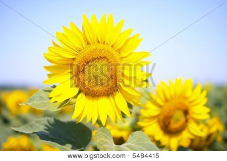 Sunflower In The Sunflowers Filed